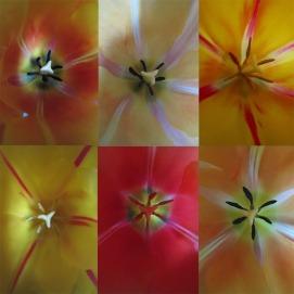 six tulips 1050